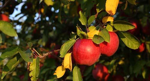 میوههای پاییزی