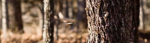 چوبی مدیترانهای (شیپر)