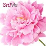 گل صد تومانی چینی، یکی از انواع رایحه بهترین عطر مردانه